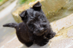 scottie dog pup